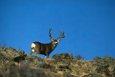 Free Huge Mule Deer Buck Stock Images - 10516314