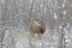 Huge Mule Deer Buck in Snow Stock Photos