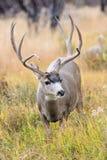 Huge mule deer Stock Images