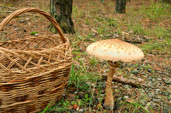 Huge mushroom. Huge brown mushroom and basket in the forest Stock Image