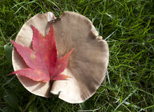 Huge mushroom and red maple leaf. Stock Photos