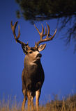 Huge Non Typical Muley royalty free stock photo