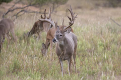 Huge nontypical whitetail buck in early fall Royalty Free Stock Image