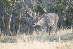 Huge nontypical whitetail buck with head down Royalty Free Stock Image