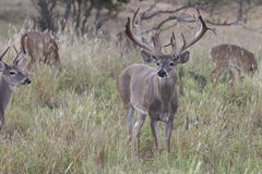 Huge Nontypical Whitetail Buck Stock Photos