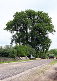 Huge Oak Stock Image