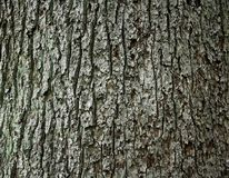Huge oak bark as background Stock Photography