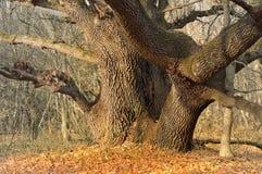 Huge oak Stock Photo