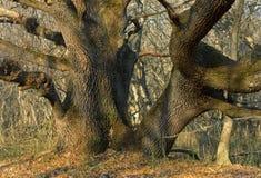 Huge oak Stock Photos