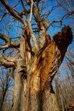 Huge oak tree Royalty Free Stock Photo