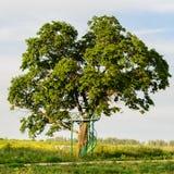 Huge oak tree growing in the summer field Stock Photo