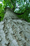 Huge oak tree Royalty Free Stock Image