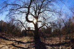 Huge oak tree Stock Photos