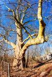 Huge oak tree Royalty Free Stock Image