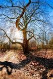 Huge oak tree Royalty Free Stock Photos