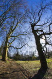 Huge oak trees Stock Photo