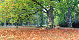 Huge old beech in autumn park Stock Photography