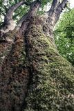 Beech tree closeup overgrown with moss in Nature Reserve rainforest Vinatovaca in Serbia. Huge old beech tree closeup overgrown with moss in Nature Reserve royalty free stock photography