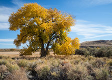 Huge old Cottonwood Royalty Free Stock Photography
