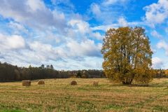 A huge old Linden tree in the field. Autumn landscape. Royalty Free Stock Image