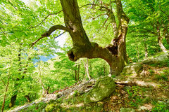 Huge and old linden tree in the forest Royalty Free Stock Image