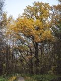 Huge old oak tree in autumn park Royalty Free Stock Images