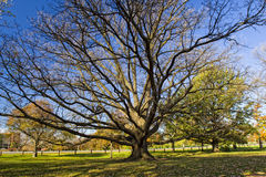 Huge Old Oak Tree in City Park Royalty Free Stock Image