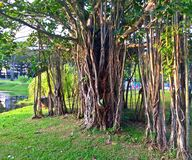 Huge old strangler fig tree. A huge old strangler fig tree with roots growing down from the branches to the ground in Bishan-Ang Mo Kio park, Singapore Royalty Free Stock Photo