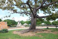 Huge old tree. Historic center of Havana. Cuba Royalty Free Stock Image