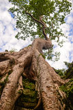 Huge old tree growing on the ruin Stock Photography