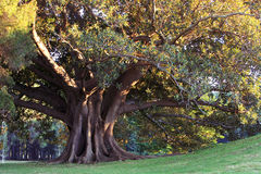 Huge old tree in morning sunlight Stock Images