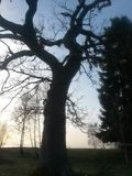 Old Oak Tree in front of clear blue sky with white clouds Royalty Free Stock Image