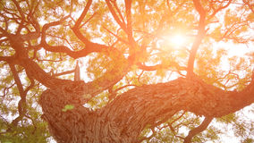 Huge old tree in the sun light Royalty Free Stock Photo