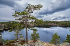 Huge old tree on top of a hill overlooking lake in the forest stock photo