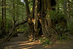 Huge Old Tree. In Washington Olympic Peninsula. Old Forest Theme. Nature Photo Collection Royalty Free Stock Photography