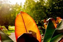 Huge orange and red leaf Stock Photo