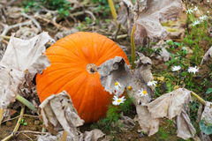 Huge orange ripe pumpkin on field on autumn Stock Images
