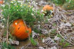 Huge orange ripe pumpkin on field on autumn Stock Image