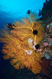 Huge orange sea fan in Layang Layang Stock Images