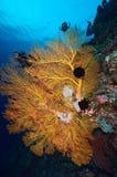 Huge orange sea fan in Layang Layang stock images