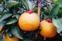 Huge oranges Royalty Free Stock Images