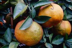Huge oranges Stock Photography