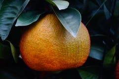 Huge oranges Stock Image