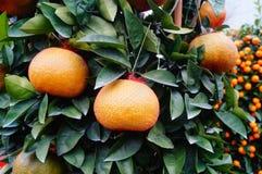 Huge oranges Stock Images