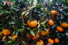 Huge oranges Stock Photos
