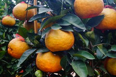 Huge oranges Royalty Free Stock Images