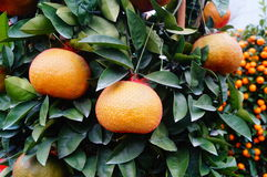 Huge oranges Stock Images