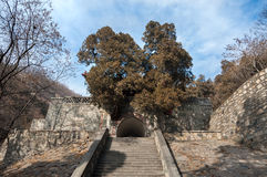 Huge overgrown tree growing out of an ancient stone gate on Tai Shan, China Royalty Free Stock Image