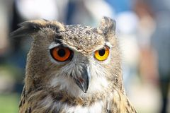 Huge owl with big orange eyes Royalty Free Stock Photo