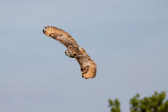Huge owl flying against blue sky Stock Photo